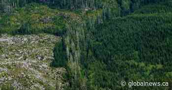 Opponents to stage hunger strike to protest old-growth logging on Vancouver Island