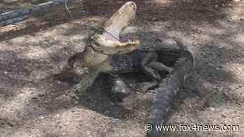 3-legged gator, bound with boxing tape, found outside Tampa sanctuary - FOX 4 Dallas