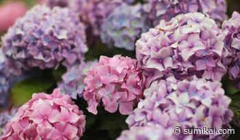 """""""Phantoms"""" Hortensien aus Shimane sind Japans neuer Blumen-Hit - Sumikai"""