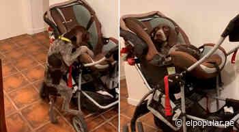 TikTok viral: perrito aprovecha la distracción de su dueño y se sube al coche de su bebé | ElPopular.pe - ElPopular.pe