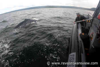 Rescuers free humpback 'anchored' down by prawn traps off Vancouver Island – Revelstoke Review - Revelstoke Review