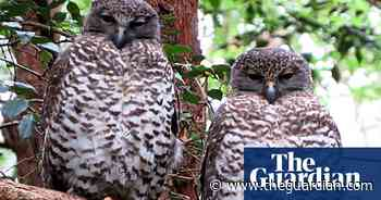 Powerful owl deaths fuel concerns mouse poison is spreading through food chain - The Guardian