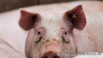 Immer weniger Schweine, Schafe, Rinder - Süddeutsche Zeitung