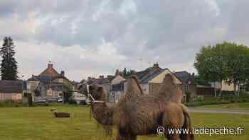 Insolite : en Mayenne, un maire tente de rattraper un chameau... à vélo - LaDepeche.fr