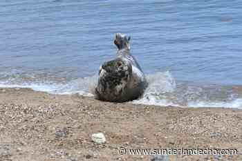 Seal delights crowds of beach goers at Seaham - Sunderland Echo