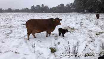 Tropical calf's chilly welcome to the world