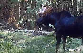 iN VIDEO: Salmon Arm man has been recording wildlife with trail cameras for past decade | iNFOnews | Thompson-Okanagan's News Source - iNFOnews