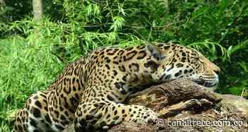 01 Jun 2021 Chivor en Boyacá… ¿Tierra de jaguares? - Canal Trece Colombia