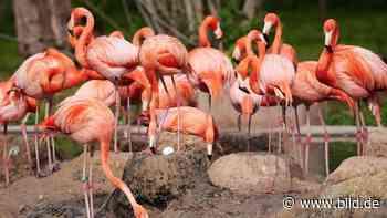 Zoo Krefeld – Nach Küken-Drama: Hoffnung bei den Flamingos - BILD
