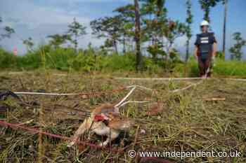 Cambodia deploys new team of rats to sniff out landmines