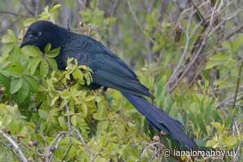 Registran en La Pedrera a un ave poco común en la zona - Adriana Pugliese