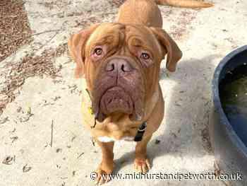 Dogs Trust Shoreham Dog of the Week: Meet Bronson - Midhurst and Petworth Observer