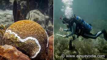 Así procuran detener una enfermedad mortífera en los corales en Puerto Rico - El Nuevo Dia.com