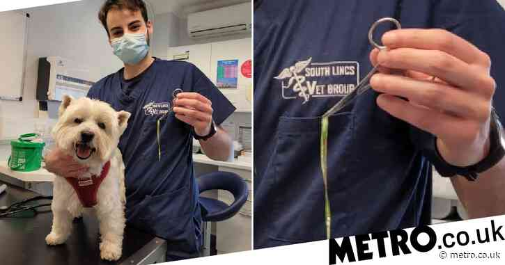 Dog needs life-saving treatment after getting huge blade of grass stuck up his nose