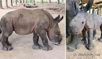 Rinoceronte bebé nacido en zoológico reaviva la esperanza de salvar su especie - Diario Hoy
