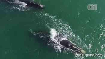 Duas baleias-franca adultas são flagradas se deslocando juntas em praia da Grande Florianópolis; FOTOS e VÍDEO - G1
