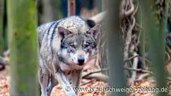 Cuxhaven: Wolf auf Autobahn überfahren - Aufnahme ins Jagdrecht? - Braunschweiger Zeitung