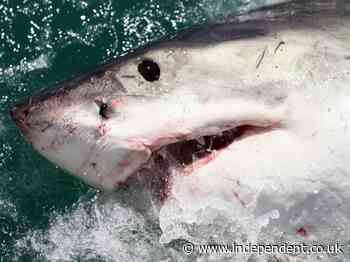 Great whites sharks are swimming close to NYC coasts, trackers reveal