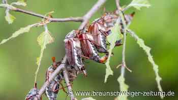 Plage in Bayern: Naturschützer wollen Maikäfer einfach essen