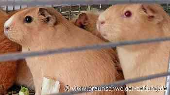 Peiner Tierheimmitarbeiter retten 29 Meerschweinchen