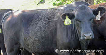 Small horn flies can be big problem for livestock