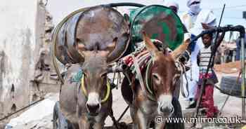 Punishing workload of 70K donkeys in 40C Saharan city lacking water or food