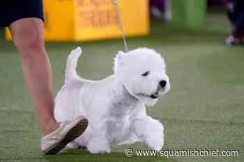 Prime Peke! Wasabi the Pekingese wins Westminster dog show - Squamish Chief