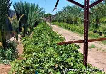Higueras en reconversión del campo en Mexicali - Ensenada.net