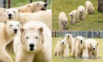 Yorkshire Wildlife Park becomes largest polar bear centre outside of Canada