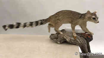 Nevada State Museum asking public's help naming taxidermy animals - News3LV