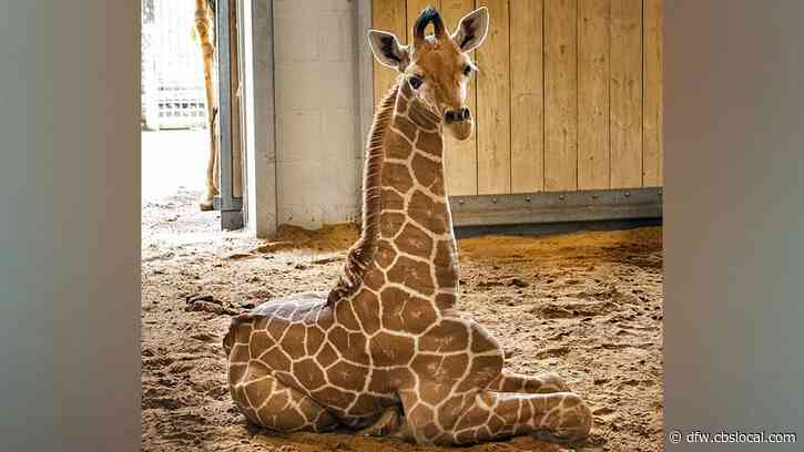 A New Giraffe With A New Name To Boot, 'Lucchese' On Display At Fort Worth Zoo