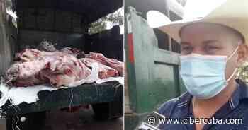 Campesino cubano dona un toro a hospital en San Antonio de los Baños - CiberCuba