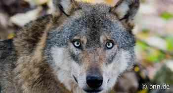 Unbekannter Wolf reißt drei Schafe in Schramberg im Schwarzwald - BNN - Badische Neueste Nachrichten