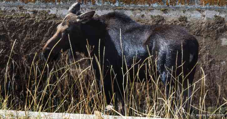 Division of Wildlife warns drought conditions may increase moose sightings