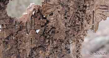 Der Borkenkäfer frisst sich wieder durch die Wälder in Bretten und der Region - BNN - Badische Neueste Nachrichten