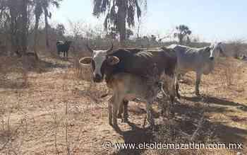 Sin agua en los potreros, se muere el ganado en El Rosario - El Sol de Mazatlán