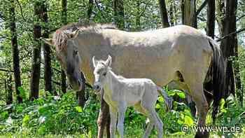 Marsberg: Name für Wildpferd-Fohlen gesucht - Westfalenpost
