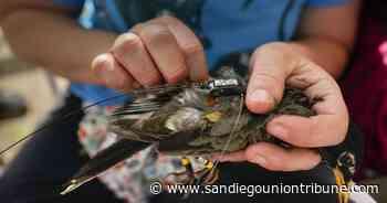 La era dorada de la investigación de la migración de aves - San Diego Union-Tribune en Español