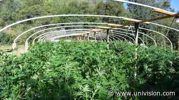Operativo contra el narcotráfico: destruyen 32 toneladas de marihuana ilegal en el condado de Fresno - Univision