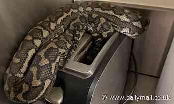 What's for breakfassssssssssssst: Samford Valley woman finds massive carpet python in her toaster