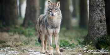 Tier kommt aus Bayern: Erneut wurde ein Wolf in Hennef nachgewiesen - Kölner Stadt-Anzeiger
