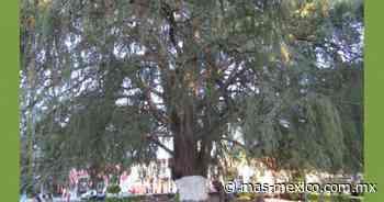 El hijo del árbol de la noche triste en Dolores Hidalgo - masmexico