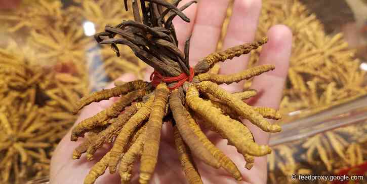 Caterpillar fungus, the world's most valuable parasite, can cost up to $63,000 per pound