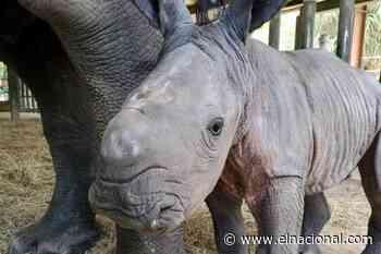 Nace un rinoceronte en un zoológico de Florida que busca recuperar la especie - El Nacional