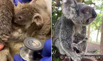 Blind koala and her joey are rescued from the side of the road by kind-hearted motorists