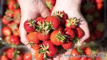 Das große Pflücken: Wenige Erdbeeren von Hagel zerstört - Süddeutsche Zeitung