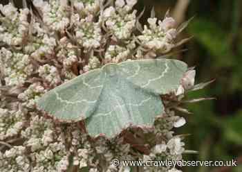 Rare Emerald Moth returns to Sussex - Crawley Observer
