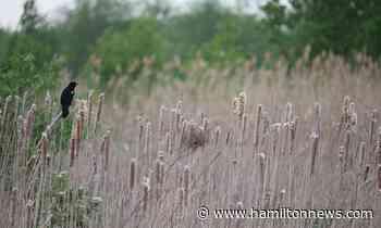 Imperiled Ancaster wetland full of wildlife, neighbours say - HamiltonNews