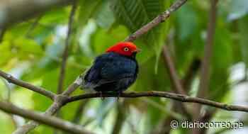 Oxapampa: la capital peruana de la observación de aves - Diario Correo