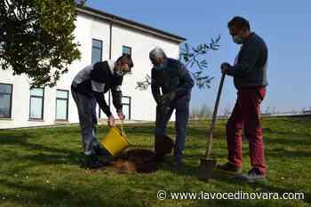 Oleggio, una mimosa al parco pubblico: era stata il dono di uno studente dell'Omar prima del lockdown - La Voce Novara e Laghi - La Voce di Novara